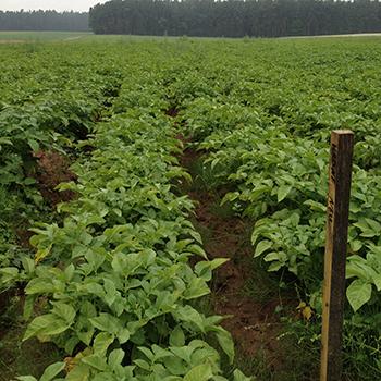 kartoffelpflanzen_klein