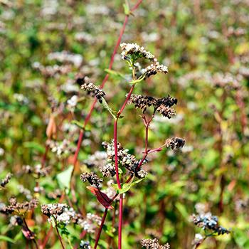 buchweizenpflanze_klein